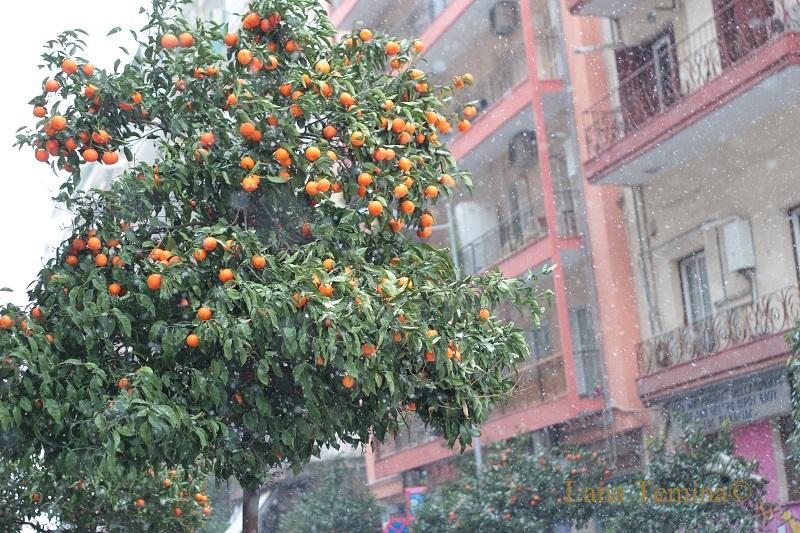 снегопад и мандариновое дерево